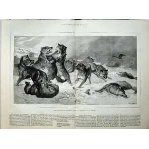 1880 Wolves Fighting Nature Wild Animals Goddard Print