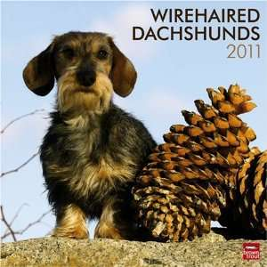 Dachshunds, Wirehaired 2011 Square 12X12 Wall (Multilingual Edition)
