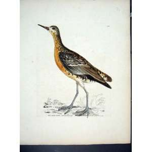 RARE HAND COLOURED KELLY BIRD c1840 RED SAND PIPER