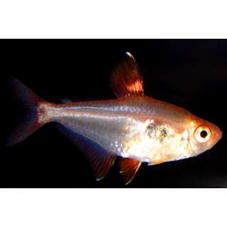 Home Fish Freshwater Fish Red Phantom Teta